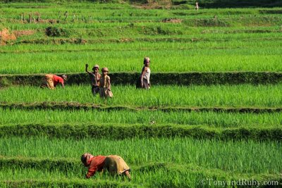 Rice Field Workers Hard at Work