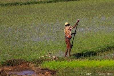 Rice Field Worker Hard at Work