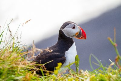 Puffin Portrait!