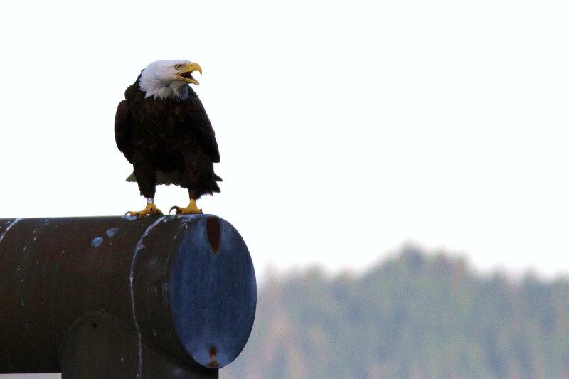 Bald eagle calling his friends