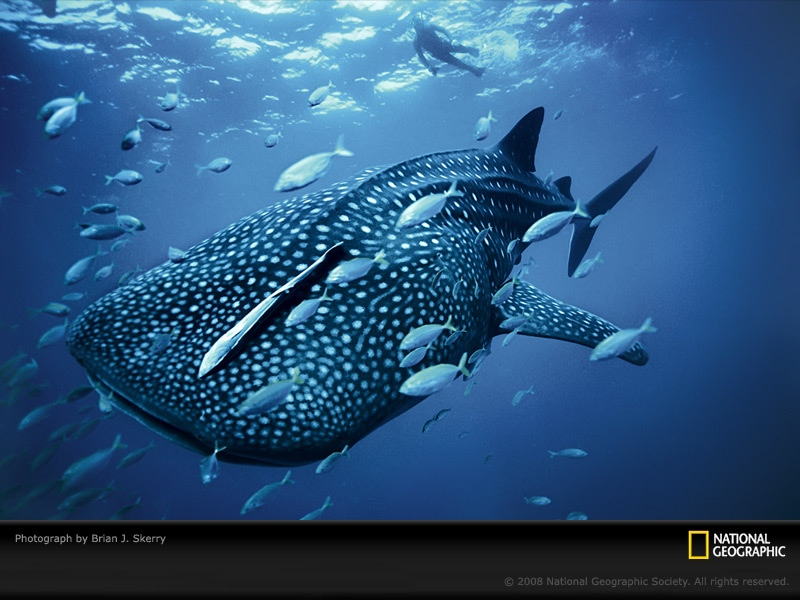 large_blue_whale_shark_2.jpg