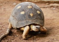 Radiated Tortoise in Madagascar