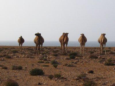 camels along desert highway
