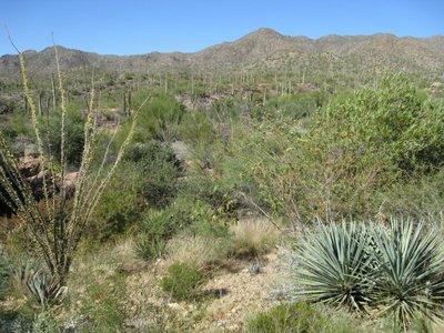 Sonoran Desert vegetation