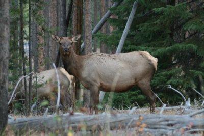 The same female Elk