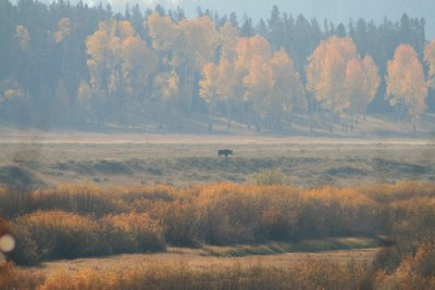 Young Bull Moose in the distance - approaching Oxbow Bend