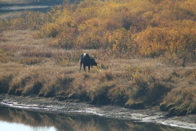 Young Bull Moose at Oxbow Bend - a bit closer