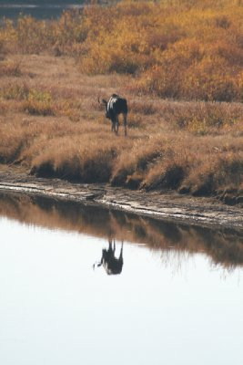 Young Bull Moose at Oxbow Bend - retreating a bit