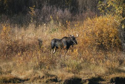 Young Bull Moose at Oxbow Bend - closest
