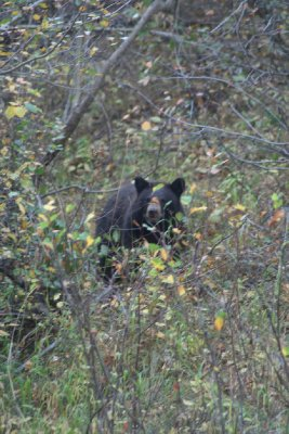 Black Bear (taken with a zoom lens - he wasn't quite THAT close!)