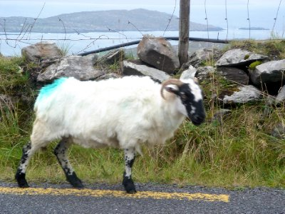 An Irish Goat