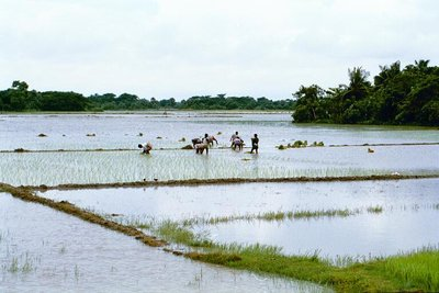 Monsoon rice fields, Hatiya