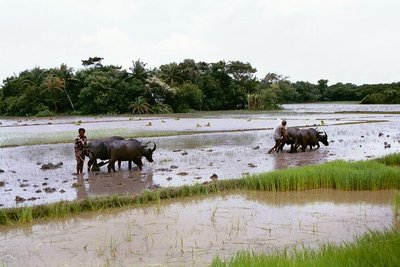 Buffalo ploughing for paddy in the monsoon