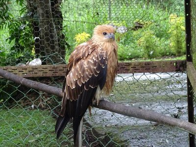 New Guinea Bird of Prey