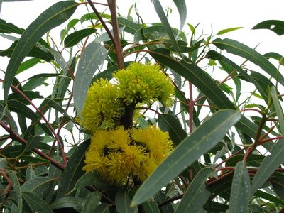 The yellow wattle against a backdrop of green leaves. Australia's national flower and the national colours