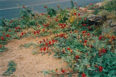 Sturt's Desert Pea Northern Territory wildflower