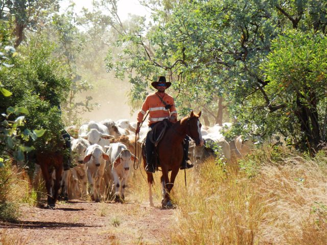 Mustering Brahman cattle in Northern Territory