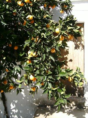 QdV orange tree