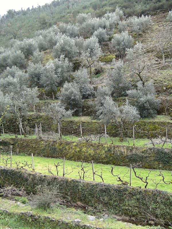 Alvaro olive terraces 1