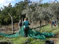 Rosa and Chen picking olives