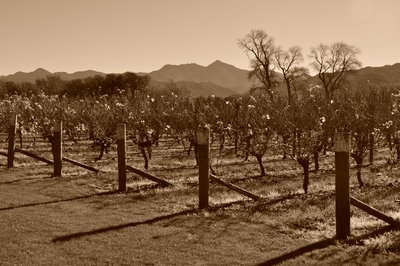 Vineyard in early winter (in 1921?)