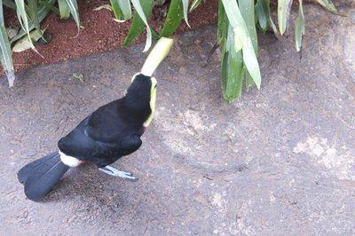 Jumping Toucan