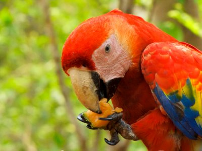 Copan, Honduras - Macaw eating melon