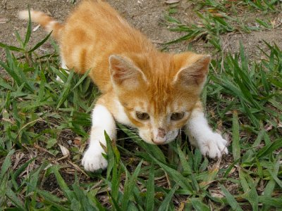 Semuc Champey, Guatemala - Super Cute Ginger Kitten at Zephyr