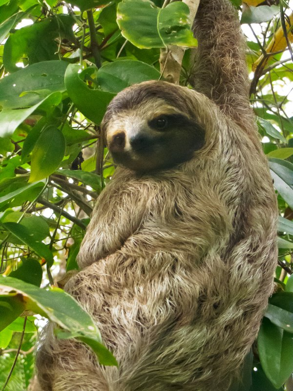 Puerto Viajo, Costa Rica - Photogenic Sloth