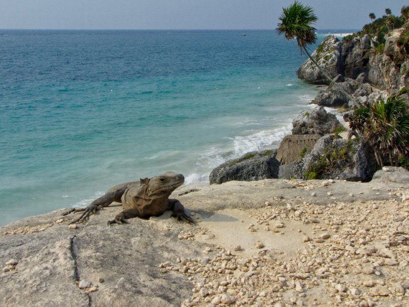 Tulum, Mexico - Iguanas on the rocks