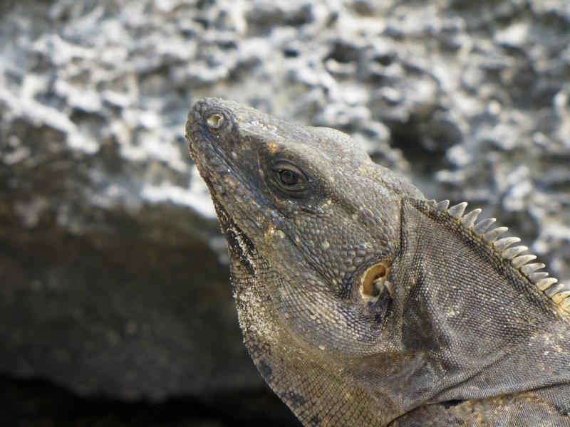 Tulum, Mexico - Close up of Iguana