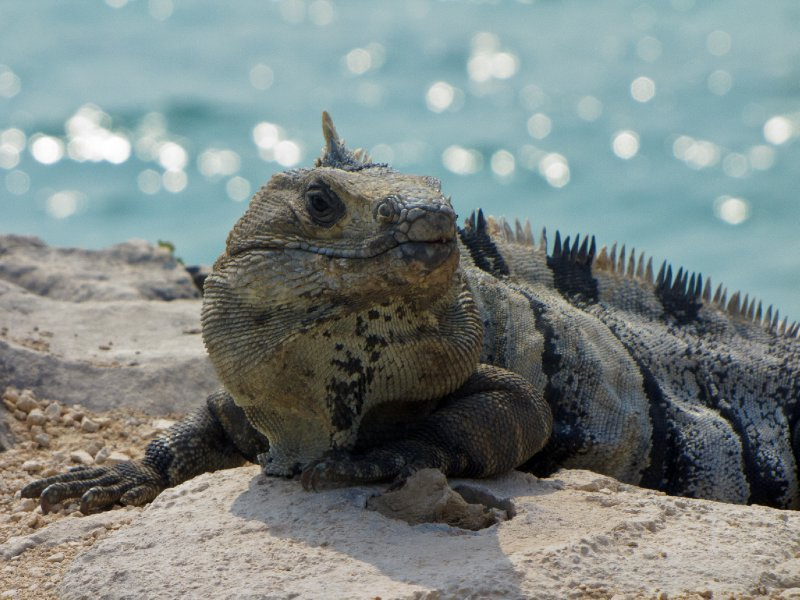 Tulum, Mexico - Iguana in the dawn sun