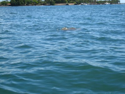 Turtle by our kayak