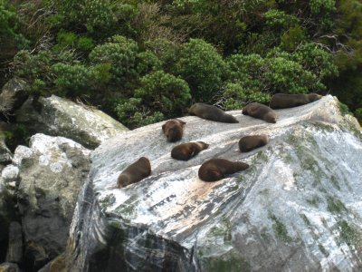 Seal Lions at Milford Sound