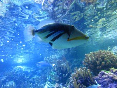Humuhumunukunukuāpuaa fish