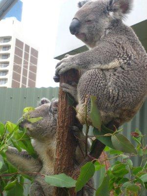Koala's at Wildlife World