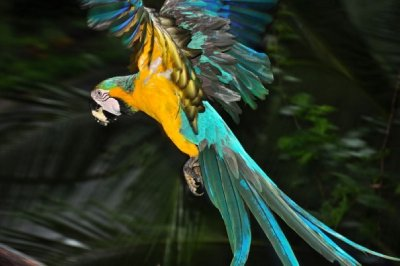 flying parrot