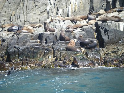 Lots and lots of sealions