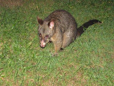 Possum 2
