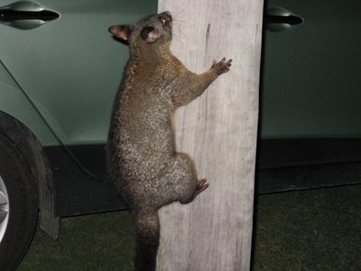 Possum in pole