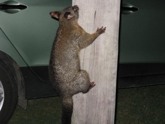 Possum in pole