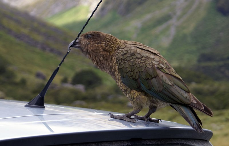Pesky New Zealand Kea