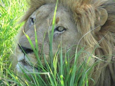 Leeuw op 3 meter afstand, Hlane Royal National Park, Swaziland