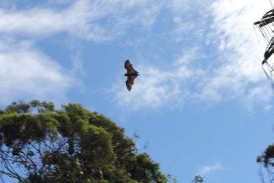 Another bat in Sydney Botanical Gardens