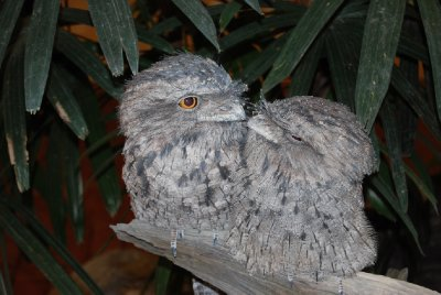 To vennlige frogmouths :-)