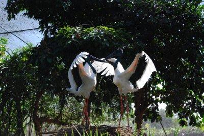 Storkenes kjærlighetsdans :-D