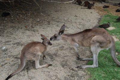 Kenguru mamma og den lille joeyen!!!!!!