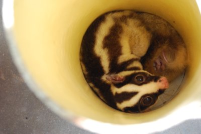 Mahogny gliders og striped possums liker seg best sammenkrøllet på et trangt sted! I dette tilfelle et soverør....populært kaldt en sylinder - hehe!