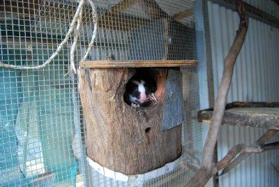 Tittei :-) Striped possum titter ut av hulen sin :-)