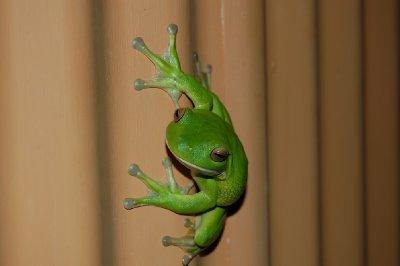 Trefrosk! Mest spenende dingsen vi så hele dagen - hehe! Ja; den sitter på en vertikal vegg!!!! Tøff dings :-)